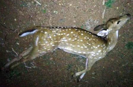 பெரம்பலூர் அருகே கம்பி வேலியில் சிக்கி புள்ளி மான் உயிரிழப்பு!