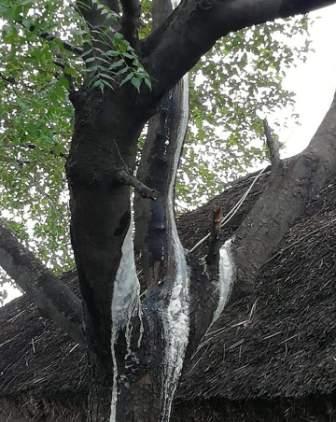 பெரம்பலூர் அருகே வேப்பமரத்தில் பால் வடியும் காட்சி!